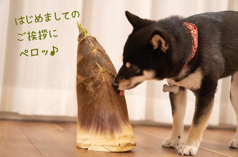 筍を舐める柴犬