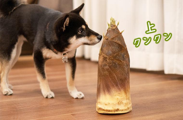 タケノコの匂いを嗅ぐ柴犬