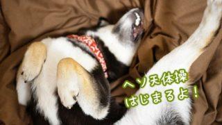 犬がヘソ天する理由 柴犬