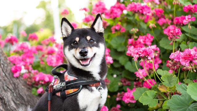 散歩して見つけたゼラニウムと犬