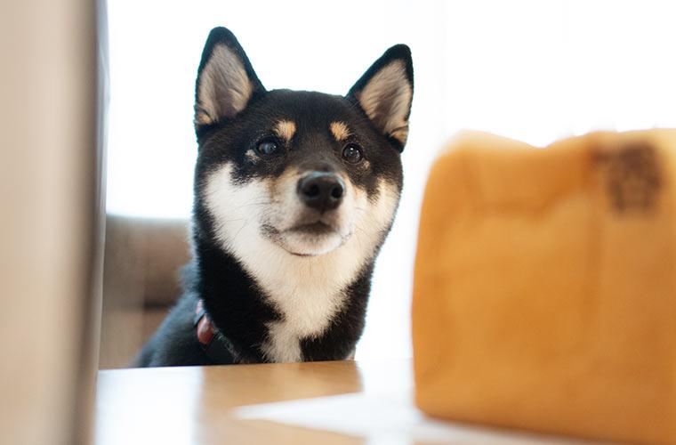 俺のベーカリーの食パンを見る犬