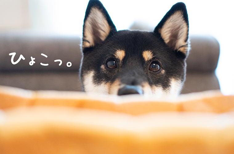 食パンから顔を出す柴犬のパン