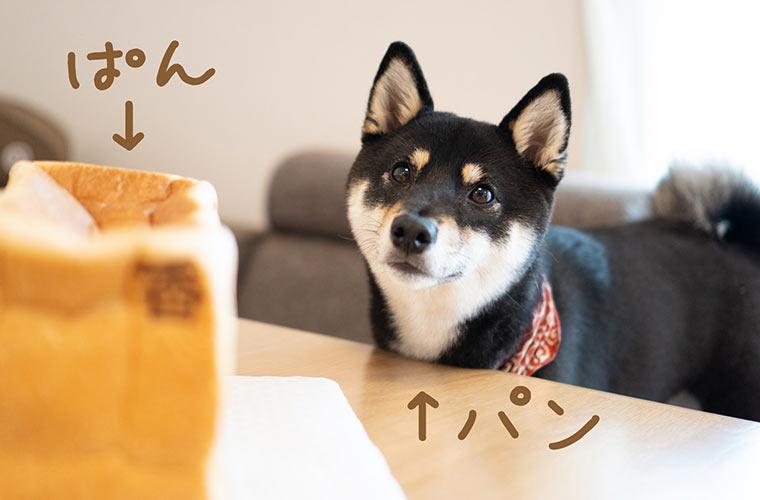 食パンと柴犬