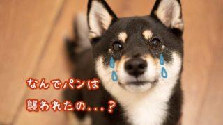襲われる柴犬 タン 斑