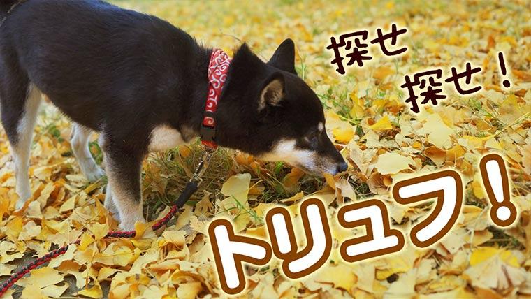 トリュフを探す犬 秋のイチョウ