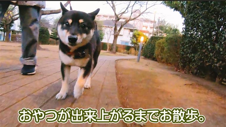 散歩の柴犬