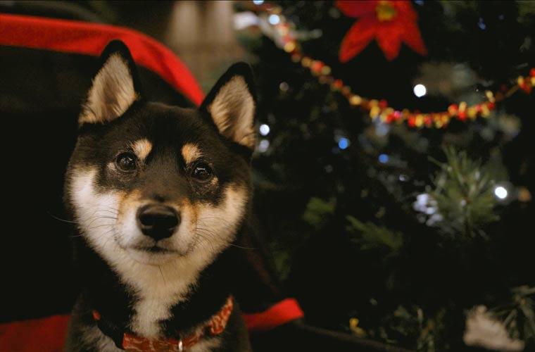クリスマスの柴犬 クリスマスツリー