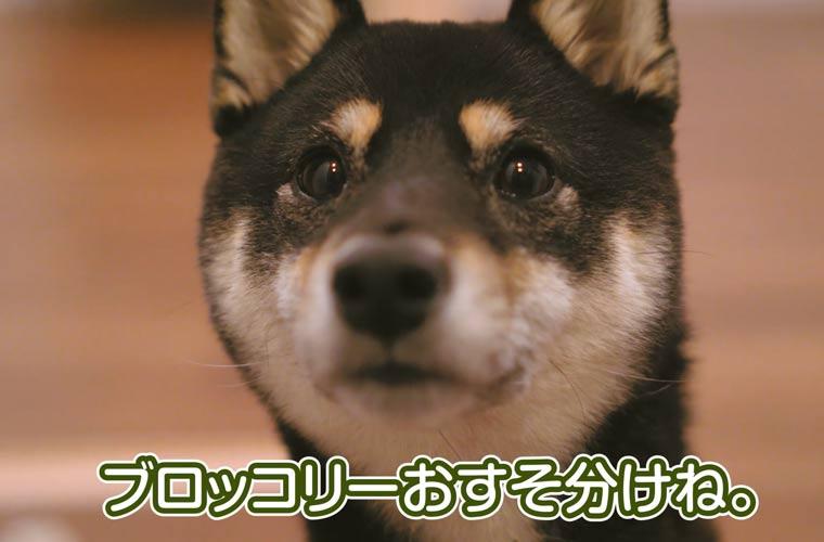 ブロッコリーを食べる柴犬
