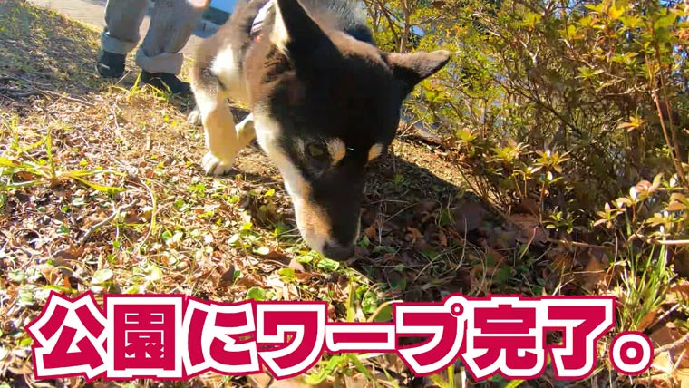 公園にワープする柴犬