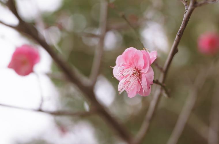 梅の花 お正月