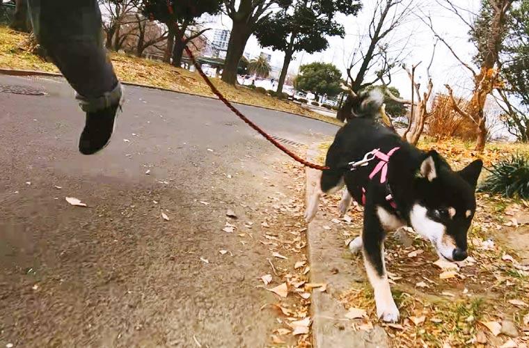 飼い主と走る柴犬