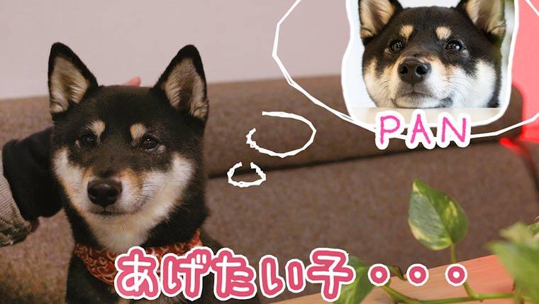 柴犬とバレンタインデー