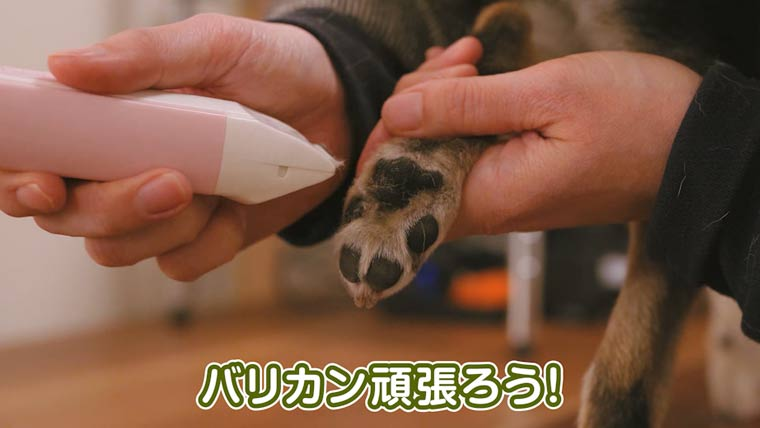柴犬の足裏の毛をバリカンで剃る