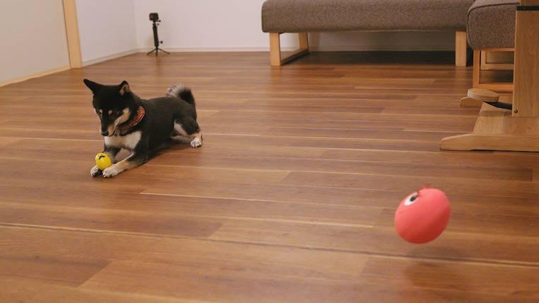 ビッグたまごちゃんで遊ぶ犬