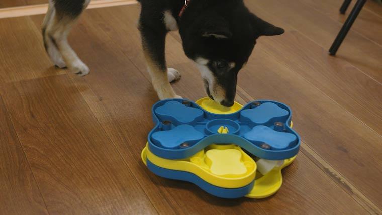 オモチャで遊ぶ柴犬