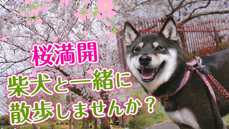 桜満開 柴犬と桜 お花見