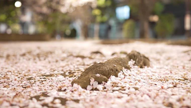 桜 夜桜 桜の花びら