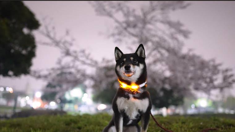 黒柴と夜桜
