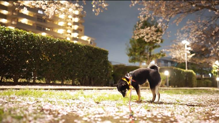 花びらの絨毯と柴犬
