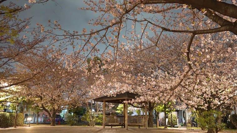 夜桜 撮影