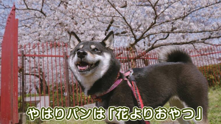 桜よりおやつが好きな柴犬