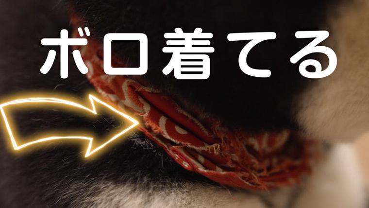 ボロ着た柴犬