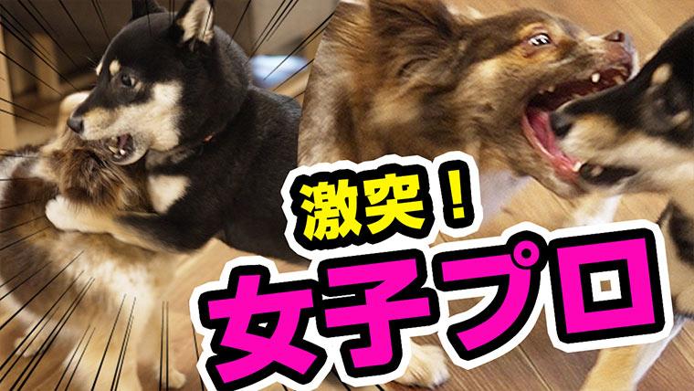 ワンプロ 犬のプロレス遊び