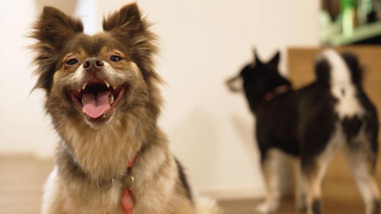 保護犬と柴犬